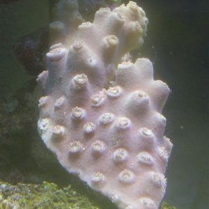 Pagoda Coral