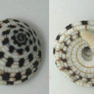 Heliacus sp.