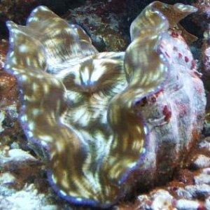 Derasa clam