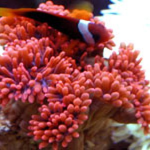 Red Bubble Anemone