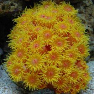 Sun Polyp - Tubastrea sp.