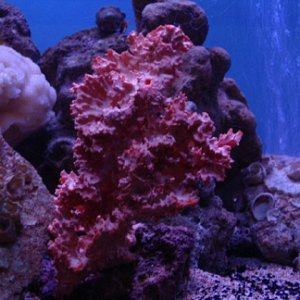 Can anyone tell me which coral is this?