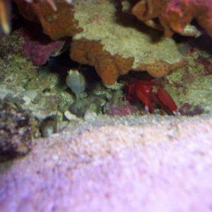 Alpheus bisincisus & Amblyeleotris randalli