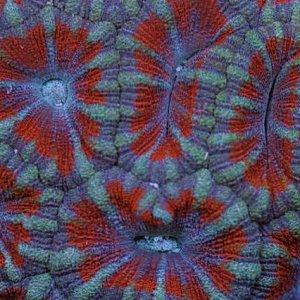 Acropora sp Purple Tip Large
