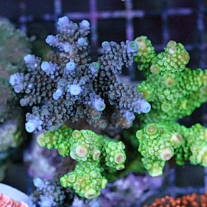 Acropora Coral 2 Color Ultra Blue and Green Colony