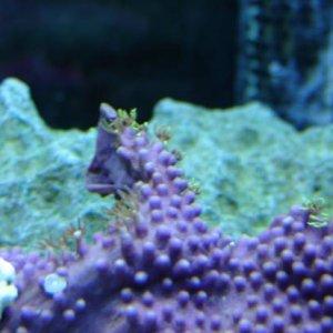 Star polyps