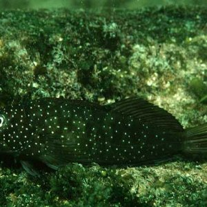Squiggly Blenny