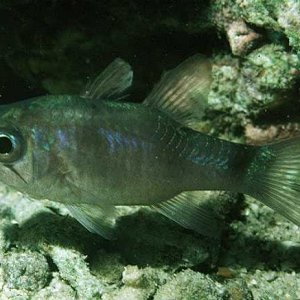 Bigeye Cardinalfish
