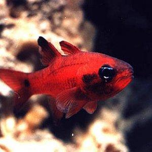 Tailspot Cardinalfish