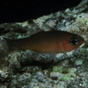Blacktip Cardinalfish