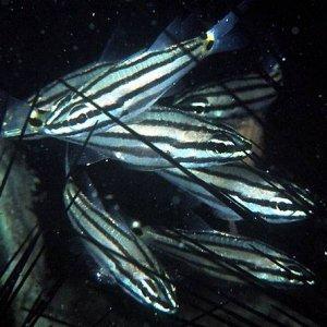 Twospot Cardinalfish