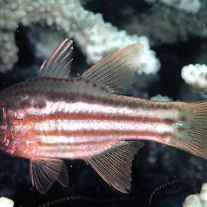 Ochrestriped Cardinalfish