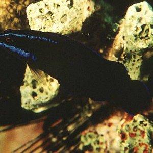 Blue-Striped Dottyback