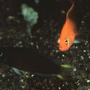 Lyretail Dottyback