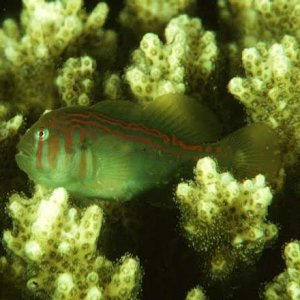 Rippled Coral Goby