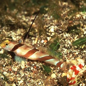 Filament-finned Prawn-Goby