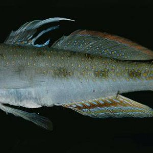 Spinecheek Goby