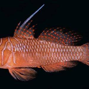 Orange Reef-Goby