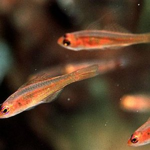 Yellow Cave Goby