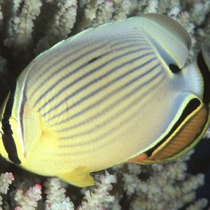 Pacific Redfin Butterflyfish