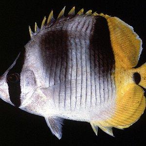 Doublesaddle Butterflyfish