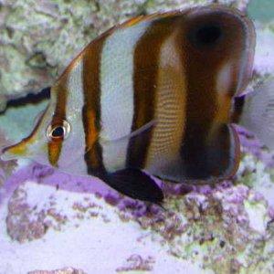 Muller's Butterflyfish
