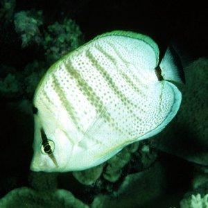 Multiband Butterflyfish