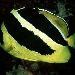 Mitratus Butterflyfish