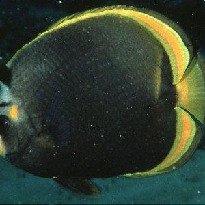 Black Butterflyfish