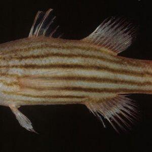 Pinstripe Reef Basslet