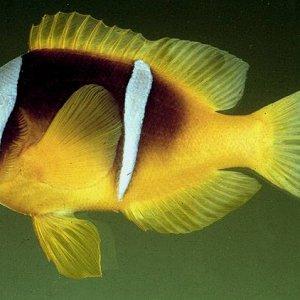 Twoband Clownfish