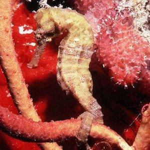 Longnosed Seahorse