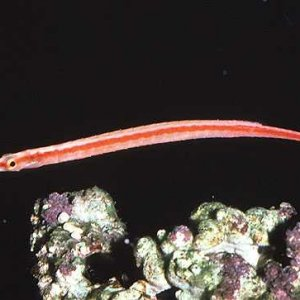 Redstriped Pipefish