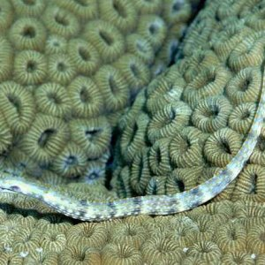 Shultz's Pipefish