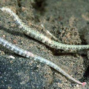 Scribed Pipefish