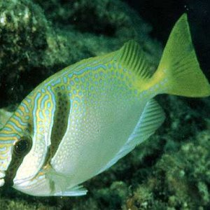 Barhead Rabbitfish