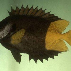 Bicolored Rabbitfish