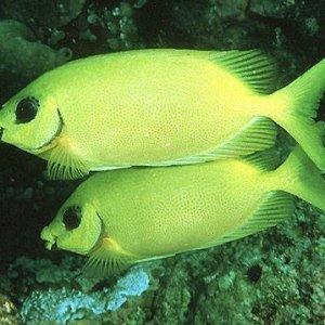 Blackeye Rabbitfish