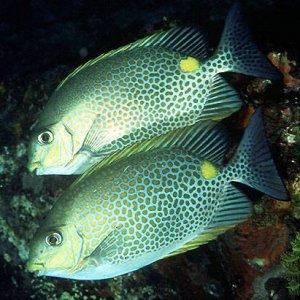 Orange-spotted Rabbitfish
