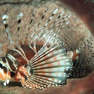 Zebra Turkeyfish