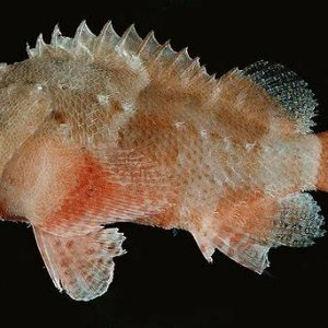 Lowfin Scorpionfish