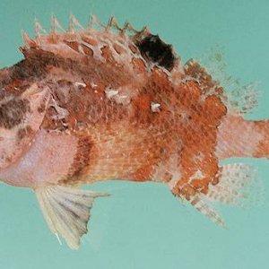 Blotchfin Scorpionfish