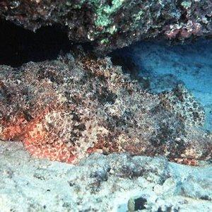 Jenkins Scorpionfish