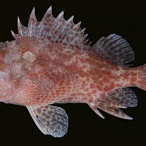 Darkspotted Scorpionfish