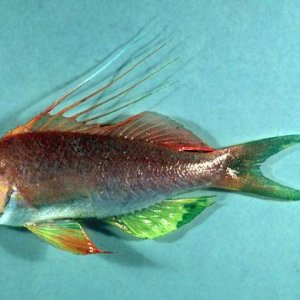 Red Barbier Anthias