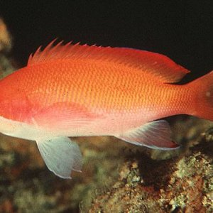 Striped Anthias