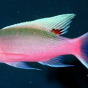 Yellowstriped Fairy Anthias