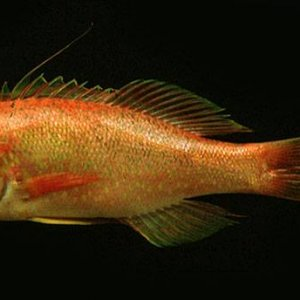 Splittail Anthias