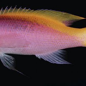 Yellowback Anthias