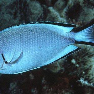 Watanabe's Angelfish